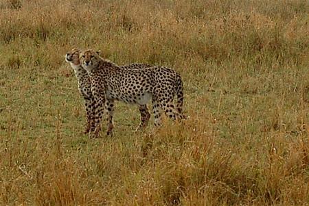 guepardo keniajpg