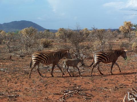 cebras-kenia.jpg